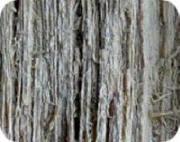 Vitröta. Träet spricker upp längs med fibrerna