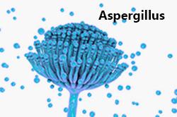 Mögel av arten Aspergillus och dess sporer