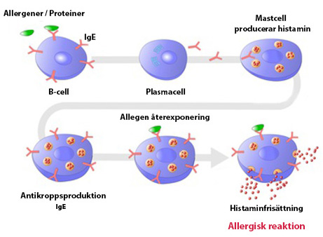 Hur allergener startar allergi