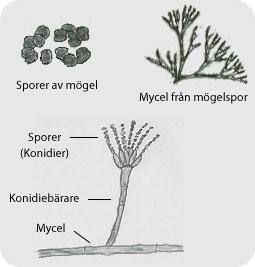 Mögel från spor till mycel och sporspridning