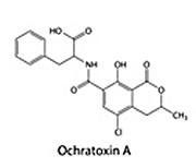 Mögelgift Ochratoxin A OTA från mögel som Penicillium och Aspergillus