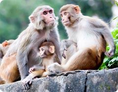 Svartmögel har testats i djurförsök på apor
