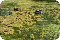 Algblomning där det ej finns vattenrening